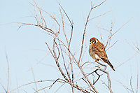 In the first few days of the New Year early morning temperatures are in the teens and the birds like this American Kestrel are perched in the sun watching the ground below and soaking up the sun for warmth.