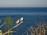 Gabbiani a Levanzo nelle Egadi.<br /> Seagulls in Levanzo, Egadi islands