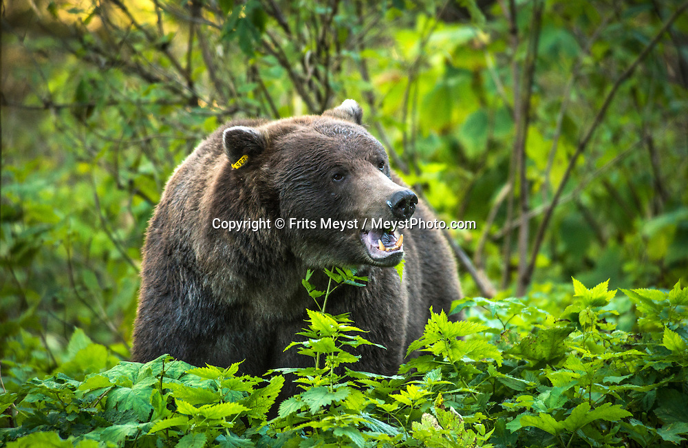 Haines, Alaska, USA, September 2014. a Female Grizzly bear forrages around in the forest near Chilkoot Lake. The Town of Haines is squeezed in between the Gulf of Alaska and the high mountains and glaciers.With scenic drives in abundance, the Yukon Territory is a driver's dream. The territory boasts a network of well-maintained highways leading through an exhilarating combination of postcard scenery, historic communities, cultural attractions and adventure outings.The Yukon Territory received world fame during the Klondike Gold Rush in 1898.  Photo by Frits Meyst / MeystPhoto.com