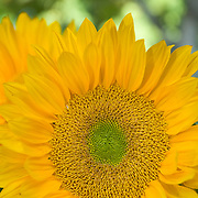 Detail of sunflower. Camarillo, California. USA.