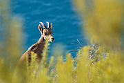Female Spanish Ibex (Capra pyrenaica pyrenaica) amongst vegetation with the Mediterranean sea as background. Maro-Cerro Gordo Natural Park in the provinces of Malaga and Granada, Andalusia, Spain.