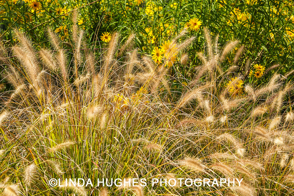 Fountain Grass with Yellow Daisies
