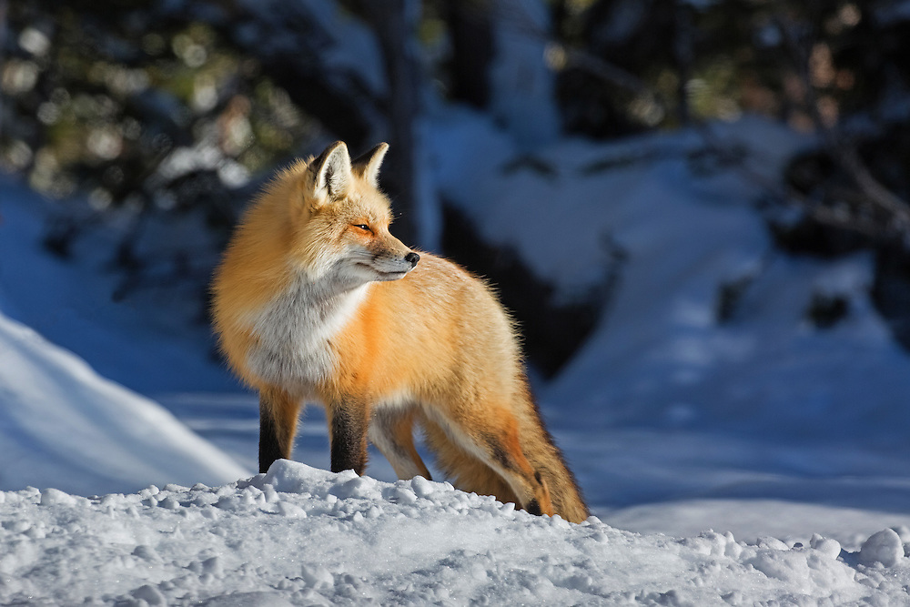 As the sun begins to lower in this sky, this red fox vixen leaves her den to begin hunting.  With their exceptional hearing, foxes listen for animals under the snow and use a combination of pouncing and digging to catch their prey.