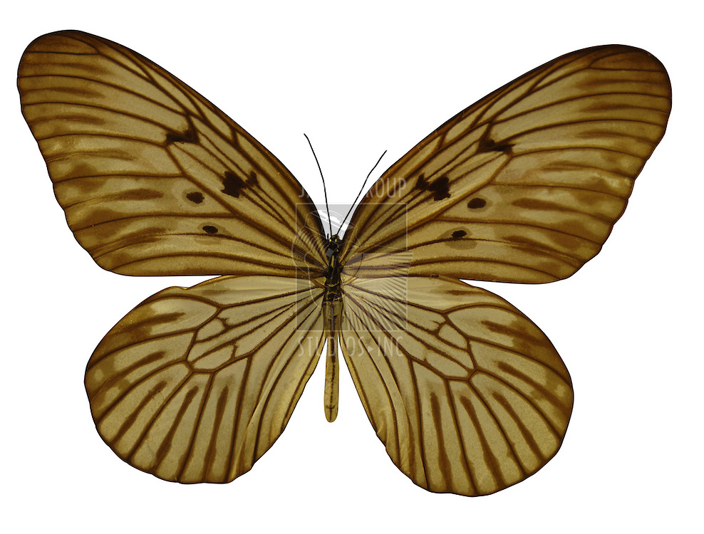 Nokomis Fritillary / Speyeria Nokomis butterfly of North American Desert Southwest with clipping path