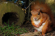 DEU, Deutschland: Europäisches Eichhörnchen (Sciurus vulgaris), Eichhörnchen hockt auf dem Waldboden, in typischer Körperhaltung auf den Hinterbeinen, Eckernförde, Schleswig-Holstein | DEU, Germany: Eurasian Red Squirrel (Sciurus vulgaris), crouching on forest floor, in typical posture on hind legs, Eckernfoerde, Schleswig-Holstein