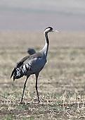 Cranes of the World
