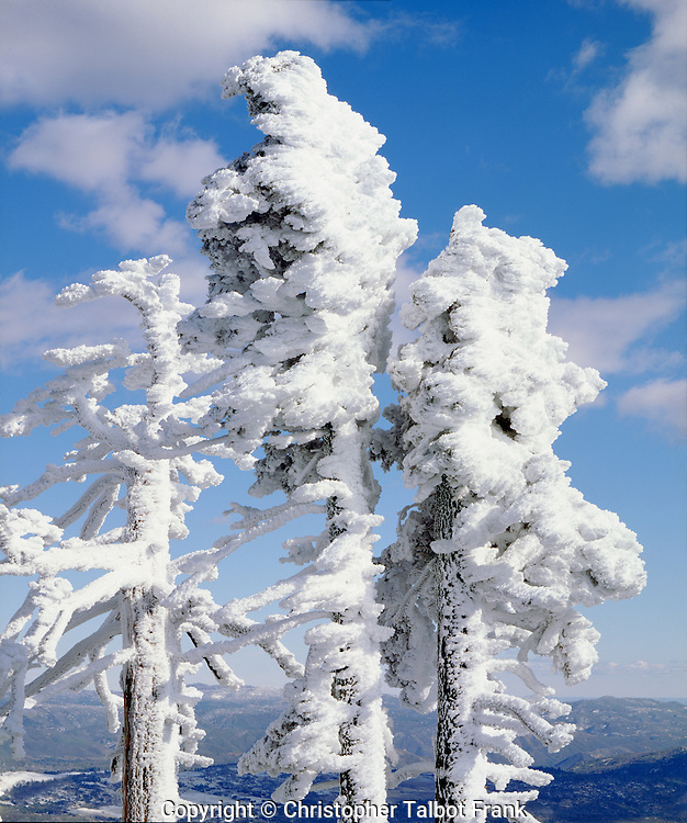 I hiked to the top of a peak through deep snow to get this photo of wind swept snow on trees in Cuyamaca Rancho State Park.
