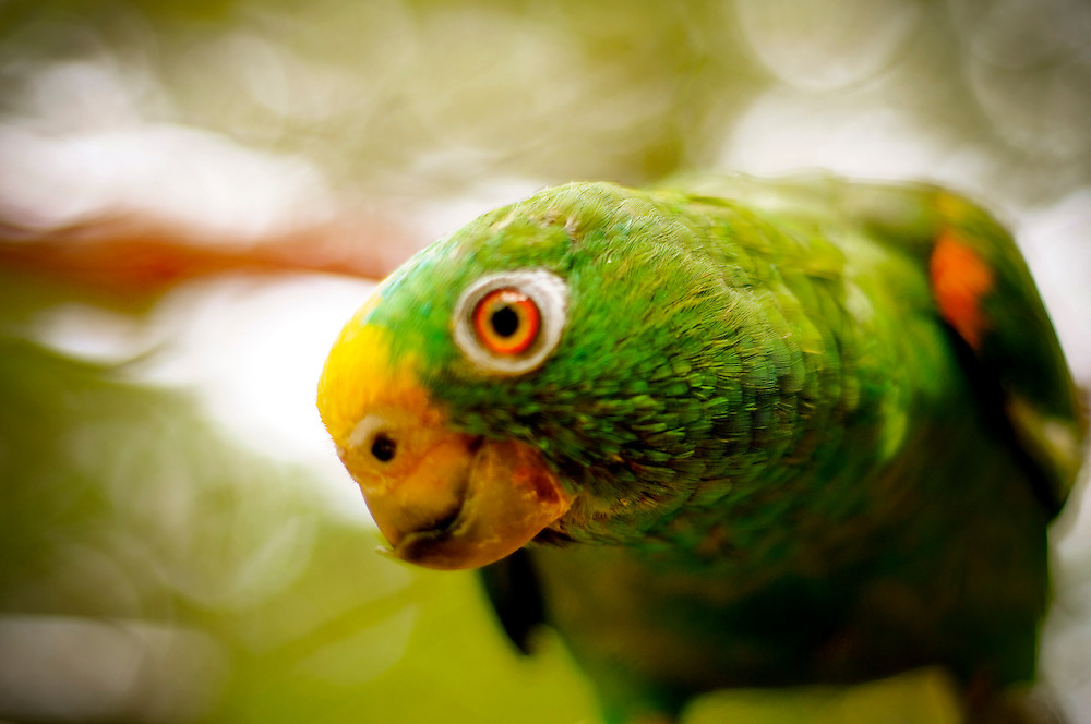 An injured parrot that had its beak cut off before being brought to the Villa Lorena Animal Refuge in Santiago de Cali, Colombia. The refuge, founded by Ana Julia Torres, takes in injured, abandoned and/or abused animals. Several exotic animals have been recovered from private properties of narco-traffickers, as well as from zoos and circuses.