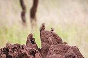 dwarf mongoose (Helogale parvula) peering out of a termite mound. This small carnivore is highly social, living in large groups of up to 20 individuals. Mongoose colonies occupy old termite nests or the burrows of other animals, which they adapt to their own requirements. The dwarf mongoose has keen eyesight and uses the top of termite mounds as a lookout post, watching for predators and other marauding mongoose colonies. If the alarm is given, the young are taken inside to safety. Photographed in Tanzania