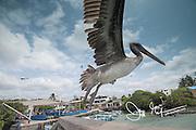 A Brown pelican takes flight from a wooden rail in Puerto Ayora, Santa Cruz, Galapagos, Ecuador.