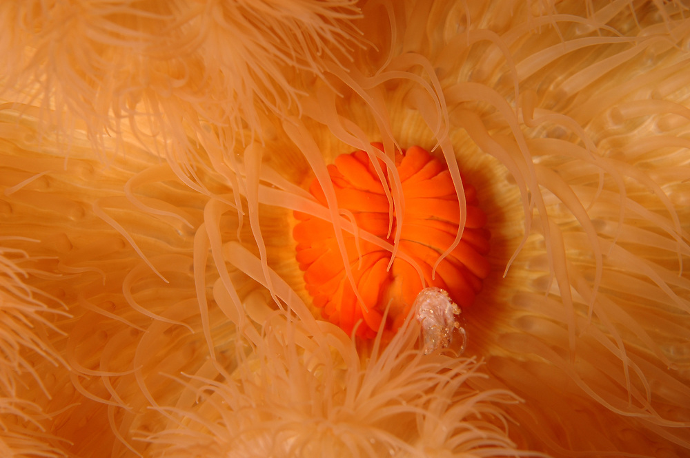 Plumose anemone (Metridium senile). Location : Troms, Norway