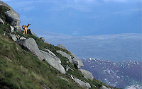 Red Deer - A Red Deer stands at the top of Goat Fell, Arran Island, Scotland.