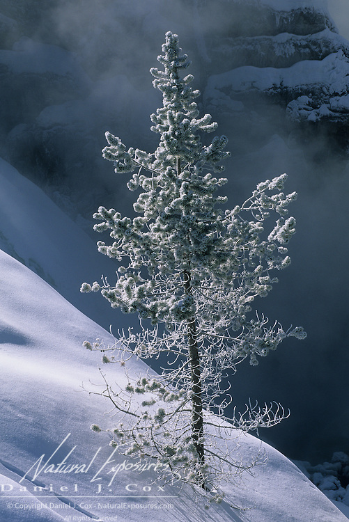 A snow-covered tree growing on the side of a hill above a geyser runoff stream in Yellowstone National Park.