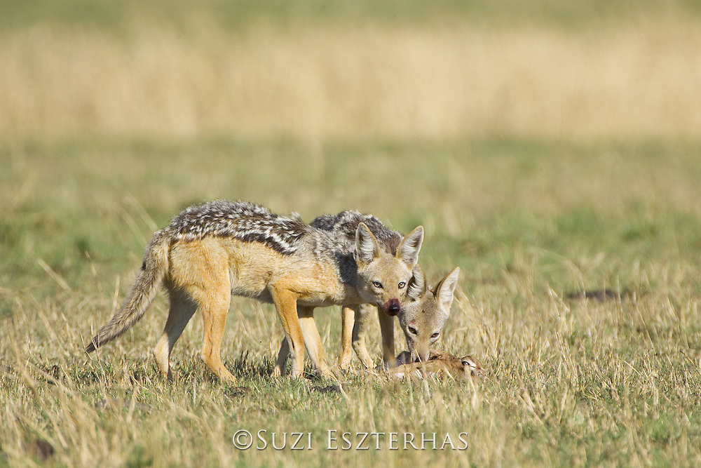 Black-backed Jackal<br /> Canis mesomelas<br /> Eating freshly killed Thomson's gazelle fawn<br /> Masai Mara Triangle, Kenya