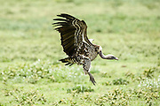 Ruppell's vulture (Gyps rueppellii) landing. This large vulture, also known as Rupell's Griffon, inhabits arid and semi-arid parts of central Africa. Photographed in Tanzania, Africa.