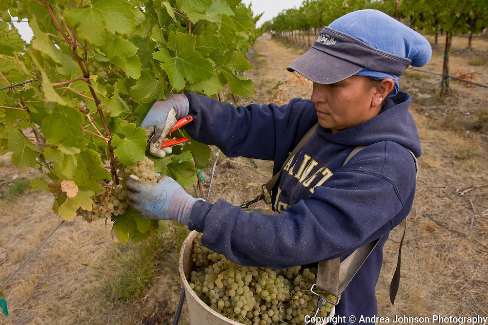 Harvesting Semillon grapes, Klipsun Vineyards, Red Mountain AVA, Yakima Valley wine region, Eastern Washington, USA