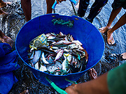 29 JULY 2017 - AIRKUNING, BALI, INDONESIA: A day's catch pulled from a net set out by fishermen in Airkuning, a Muslim fishing village on the southwest corner of Bali. Villagers said their regular catch of fish has been diminishing for several years, and that are some mornings that they come back to shore with having caught any fish.    PHOTO BY JACK KURTZ