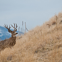 mule deer buck in tall grass profile head turned side view in tall grass blue sky