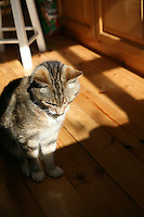 Senior pet tabby cat sitting on wooden kitchen floor