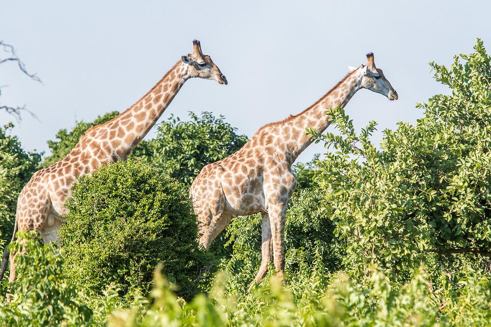 Two giraffes (Giraffa) use their long legs to walk through tall vegetation, Chobe National Park - Botswana