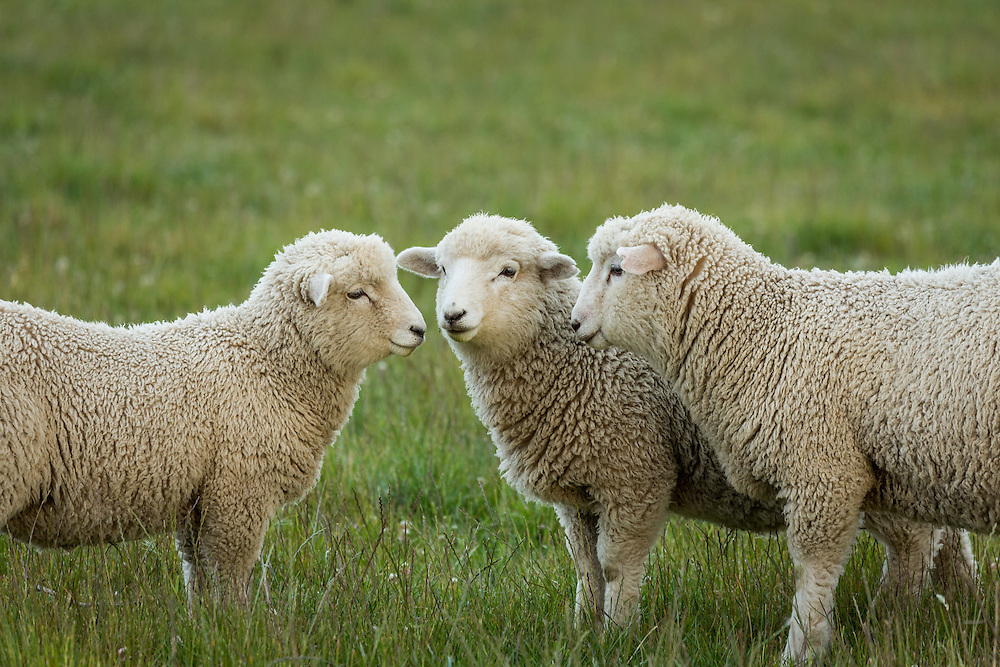 Three lambs play together in lush pasture.