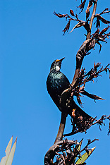 Tui, Prosthemadera novaeseelandiae, New Zealand