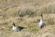 Greylags - Greylag Geese, Anser anser, in marshland in North Norfolk, UK