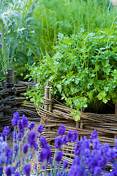 Coriander - Coriandrum sativum - growing in a woven willow raised bed.