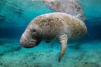 Florida manatee, Trichechus manatus latirostris, a subspecies of the West Indian manatee, endangered. An adult manatee peacefully floats near historic remnants of wooden posts, left by the Cousteau team in the early 1970s. A rescued manatee named Sewer Sam was being corralled with tall posts for observation and these are what is left today. Horizontal orientation with mixing blue and aqua water. Three Sisters Springs, Crystal River National Wildlife Refuge, Kings Bay, Crystal River, Citrus County, Florida USA.
