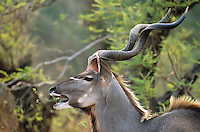 Antelope feeding from trees