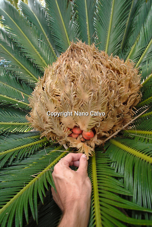 Male hand showing palm tree seeds