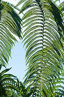 Fern details on the Pihea trail on Kauai, Hawaii, USA.