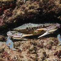 Callinectes sapidus - blue crab