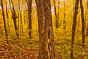Autumn  color in maple hardwood forest. Great Lakes - St.  Lawrence Forest Region.<br />La Mauricie National Park<br />Quebec<br />Canada
