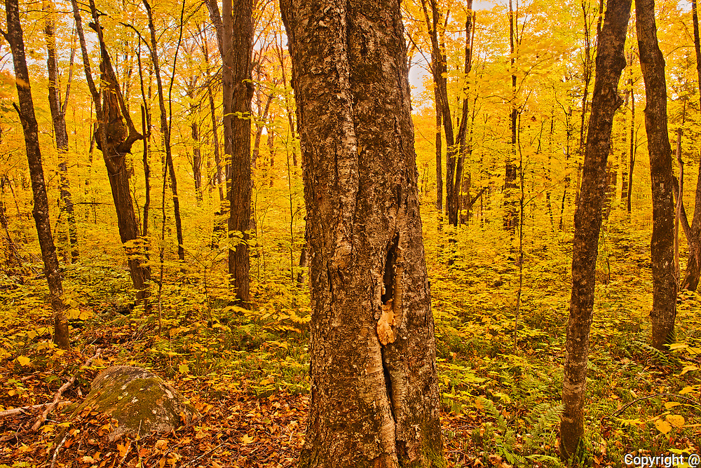 Autumn  color in maple hardwood forest. Great Lakes - St.  Lawrence Forest Region.<br />