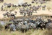 Annual migration of over one million Blue Wildebeest (Connochaetes taurinus) and 200,000 zebras. Photographed in Spring April in Serengeti, Tanzania