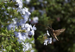 A Hawaiian Sphinx moth sips nectar from a flower on Sunday, Jan. 21, 2018 in Paia, Hi. (Photo by D. Ross Cameron)