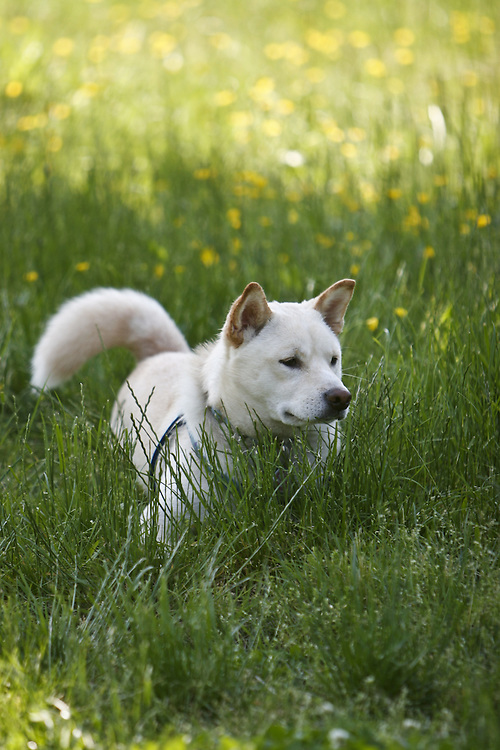 A dog hides in the grass on a warm spring day in the Congressional Cemetery.