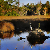 Great White Heron reflection