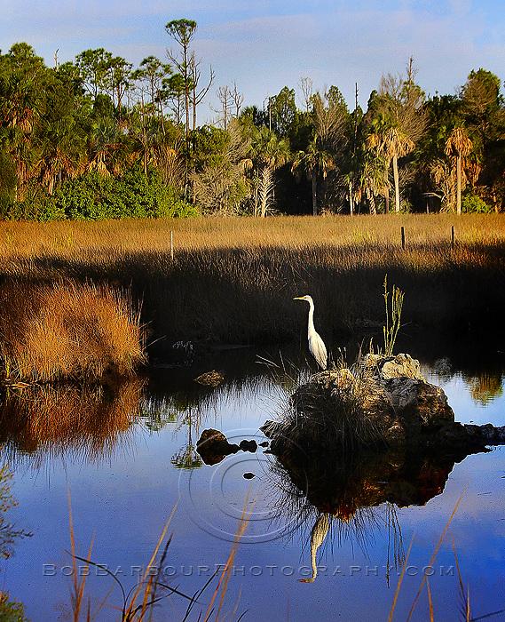 Great White Heron reflection