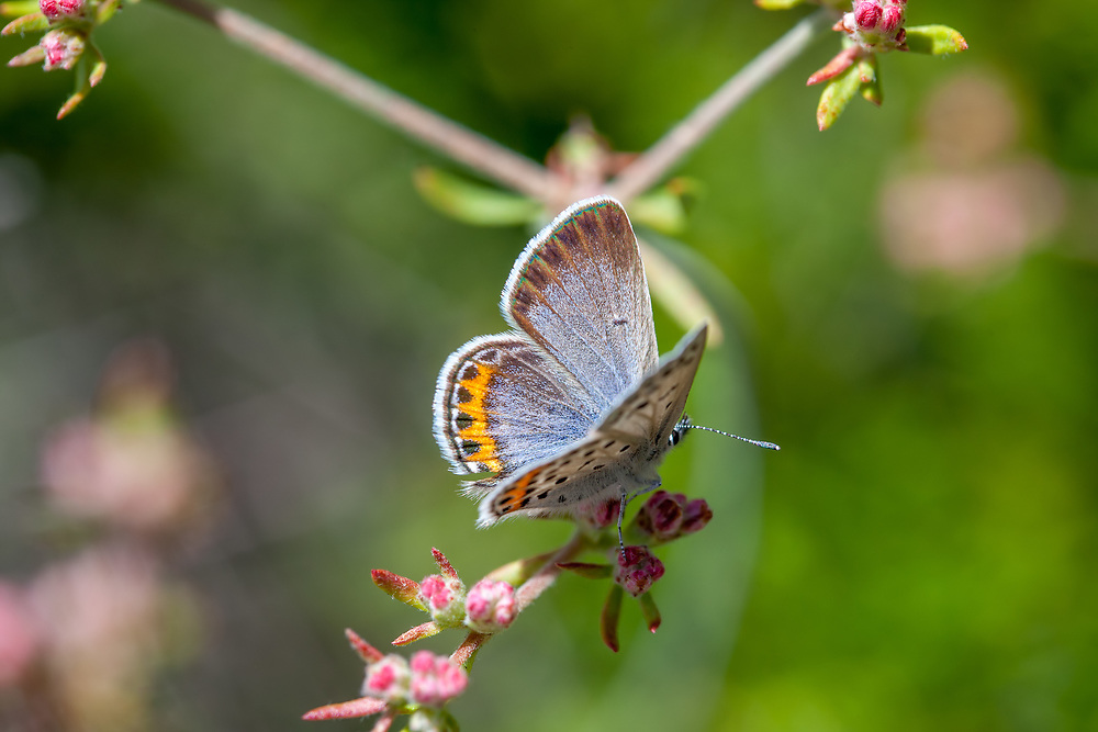 Plebejus lupini monticola (Monticola Blue) ♂ at Grizzly Flat, Angeles NF, Los Angeles Co, CA, USA, on California buckwheat 29-May-15