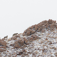 Snow Leopards Photographed in Ladakh, India.