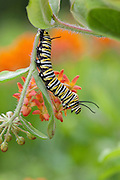 Monarch Butterfly caterpillar on butterflyweed; Asclepias tuberosa; PA, Philadelphia, Schuylkill Center