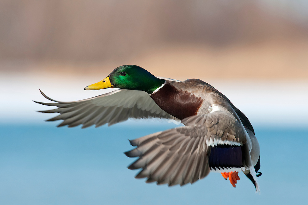 Mallard; Anas platyrhynchos; male, Detroit River, Ontario, Canada
