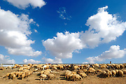Israel, Negev desert, Bedouin shepherd and his herd of sheep