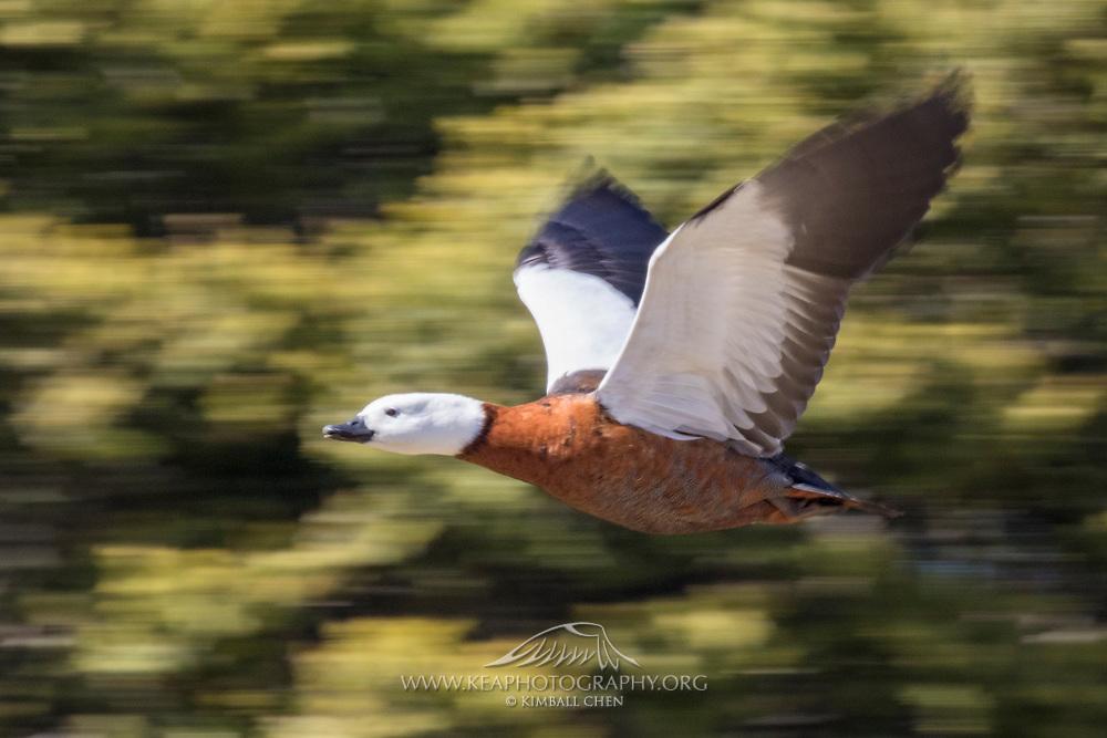 Paradise Shelduck in flight, New Zealand