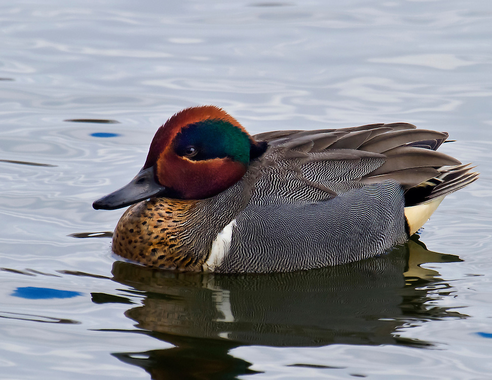 A rarely seen green winged teal, a fowl in the duck family. It was early Spring at the lake.
