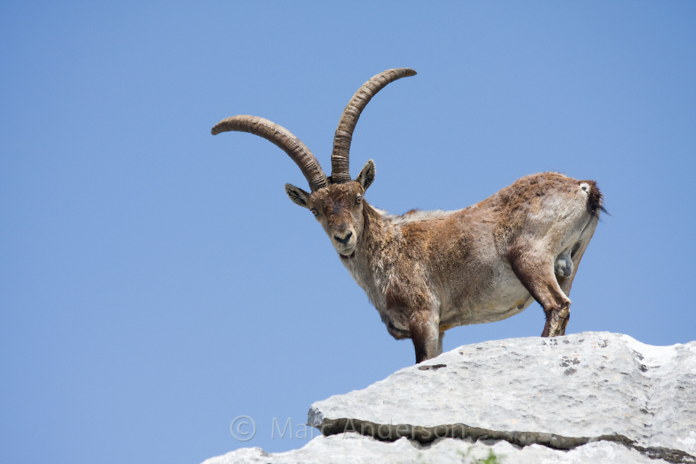 Spanish Ibex (Capra pyrenaica) in El Torcal Nature Reserve, Andalucia, Spain