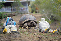 Photographer and Giant Galapagos Tortoise at El Manzanillo Ranch on Santa Cruz Island, Galapagos, Ecuador.