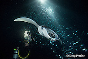 Douglas Seifert photographs reef manta ray, Manta alfredi, feeding on plankton attracted by lights placed by divers at night among Hawaiian flagtail or aholehole, Kuhlia xenura ( endemic species), schooling in Makako Bay, Keahole, Kona, Hawaii Island ( the Big Island ), Hawaii, U.S.A. ( Central Pacific Ocean ) MR 474